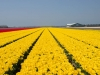 Olanda - Camp cu flori